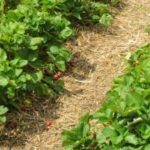 ripe_organic_strawberries